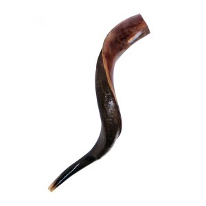 "Small Yemenite Shofar Half Polished Half Natural 23""-25"""