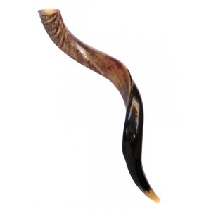 "Medium Yemenite Shofar Half Polished Half Natural 26""-28"""