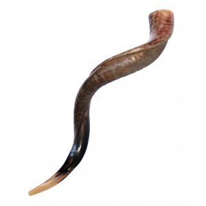 "Large Yemenite Shofar Half Polished Half Natural - 37""- 39"""
